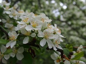 りんごの仲間、ズミの花が広がっていた。