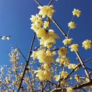 蝋梅の黄色と空の色のコントラストがきれい。